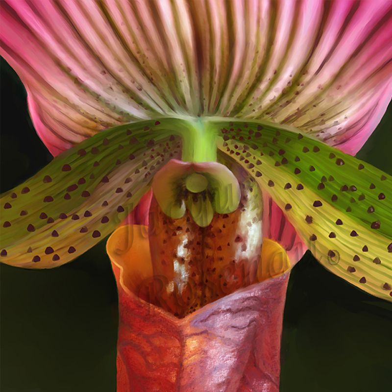 ©Jacque_Rosenau_Striped-orchid_red_striped_paphiopedilum
