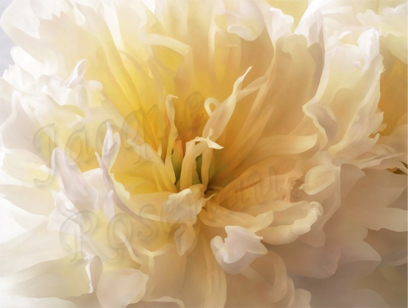 peony-open-butter