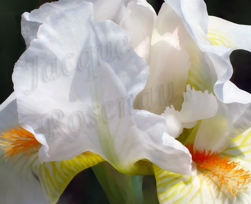 ©Jacque_Rosenau_White_Orange_Iris