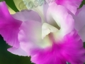 ©Jacque_Rosenau_Prom-orchid