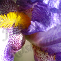 Purple Speckled Iris
